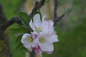 Blüte eines Apfelbaumes (Säulenobst)
