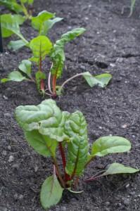 Mangold frisch gepflanzt
