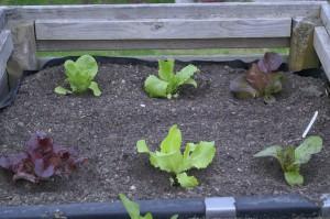 verschieden Salatepflänzchen