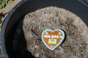 Auspflanzen der Kartoffel